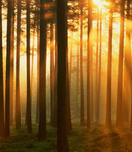 Sweden, Vasterbotten, Scots pine trees