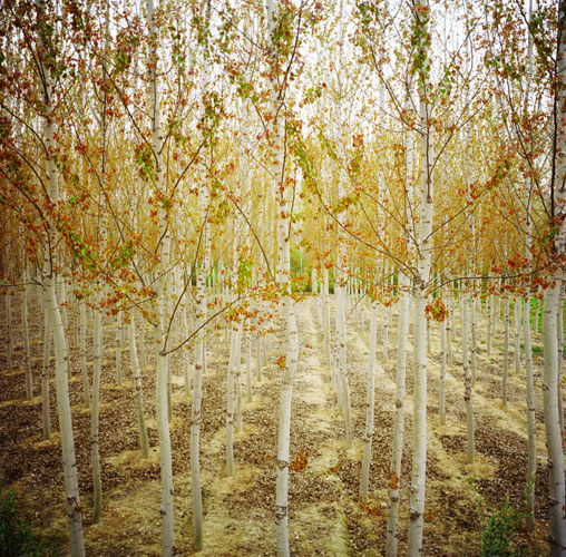 Birch trees in rows