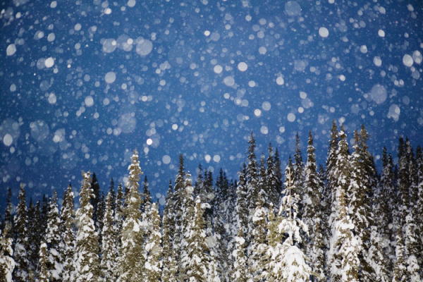 Sweden, Porjus Norrbotten, Snowing in spruce forest