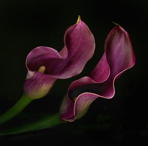 Two purple calla lilies